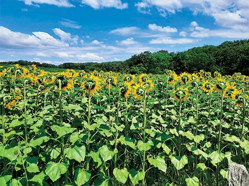 champs de tournesol